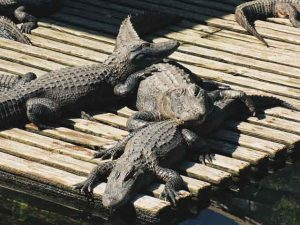 Crocodile Chonburi Thailand tired of ordinary travel this is the most dangerous tourist place in the world vdiscovery arvinovoyage